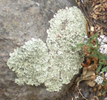 heart-shaped lichen covered rock